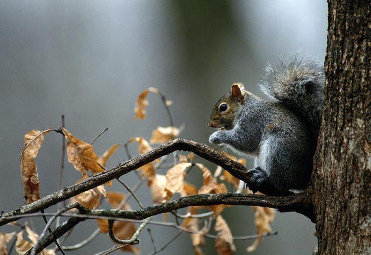 eastern-gray-squirrel1