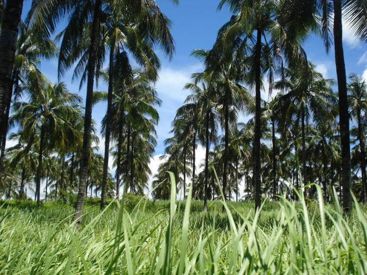 pohon-kelapa