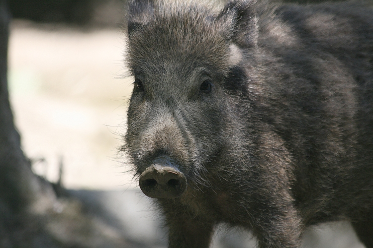 wild_boar_frontal